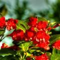 Вейгела (49 фото): виды,  особенности ее посадки и выращивания фото