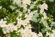 Фото 2 Вейгела (49 фото): виды,  особенности ее посадки и выращивания