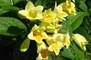 Фото 4 Вейгела (49 фото): виды,  особенности ее посадки и выращивания