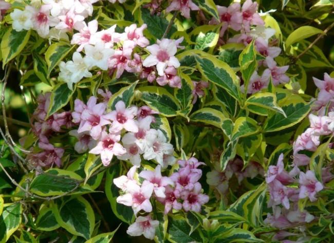 Бело-розовые цветы вейгелы