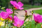 Фото 15 Портулак (75+ фото): декоративный и лечебный красавец