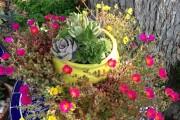 Фото 2 Портулак (75+ фото): декоративный и лечебный красавец