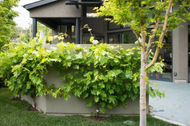 Шпалеры для винограда могут выполнять и декоративную функцию