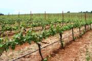 Фото 3 Руководство по созданию шпалеры для винограда своими руками (47 фото)