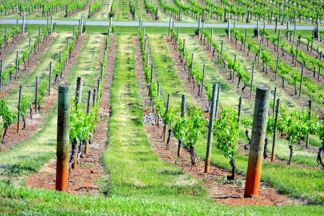Одноплоскостные шпалеры идеально подойдут для молодого винограда, а так же мелких сортов его