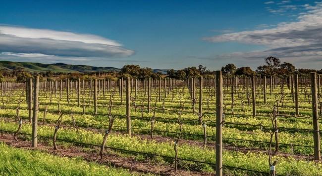 Благодаря шпалерам создаются оптимальные условия для опыления цветков винограда , облегчается уход за кустами и сбор урожая