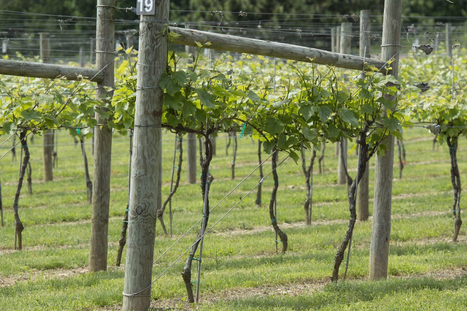Шпалера для винограда своими руками фото чертежи