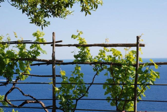 Благодаря шпалерам для винограда кусты лучше проветриваются , что способствует меньшему повреждению грибными болезнями