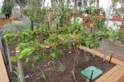 Фото 8 Руководство по созданию шпалеры для винограда своими руками (47 фото)