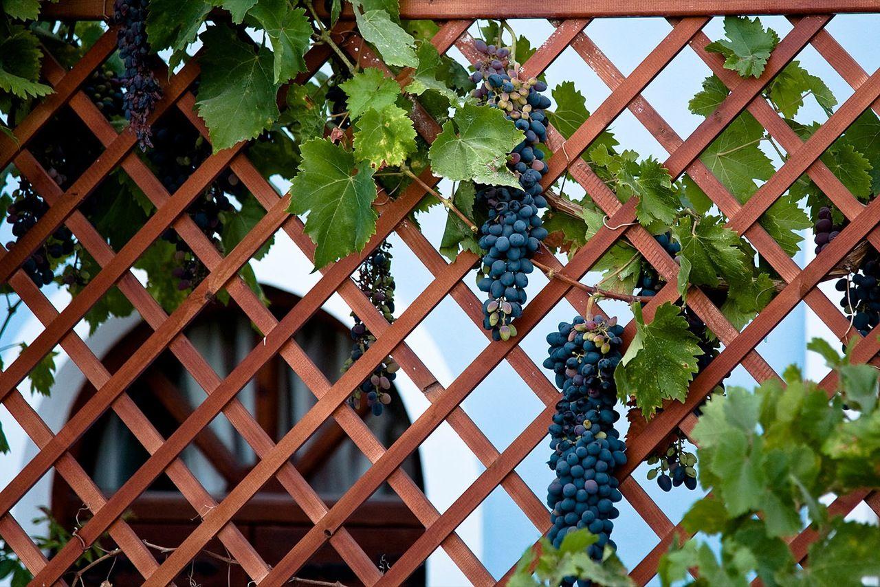 Изгородь для винограда своими руками 2