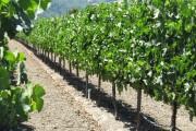 Фото 9 Руководство по созданию шпалеры для винограда своими руками (47 фото)