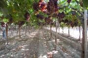 Фото 10 Руководство по созданию шпалеры для винограда своими руками (47 фото)