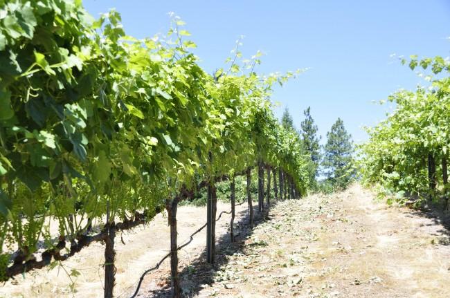 Летом проводится зеленая подвязка винограда