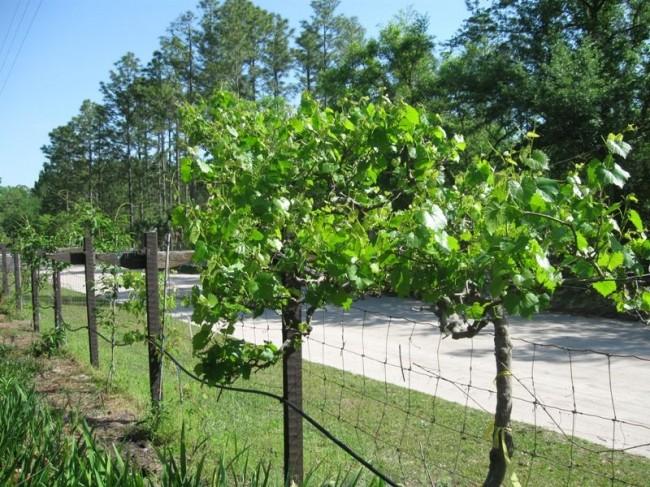 Двухплоскостная шпалера дает фермерам большие возможности для выращивания винограда