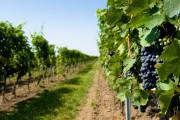 Фото 11 Руководство по созданию шпалеры для винограда своими руками (47 фото)