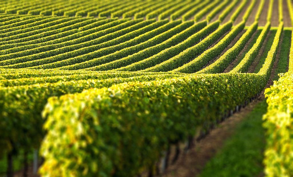 Виноградники шпалеры своими руками
