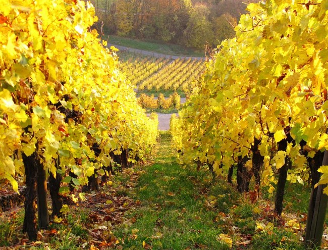 Шпалера для винограда является лучшим видом опор для винограда