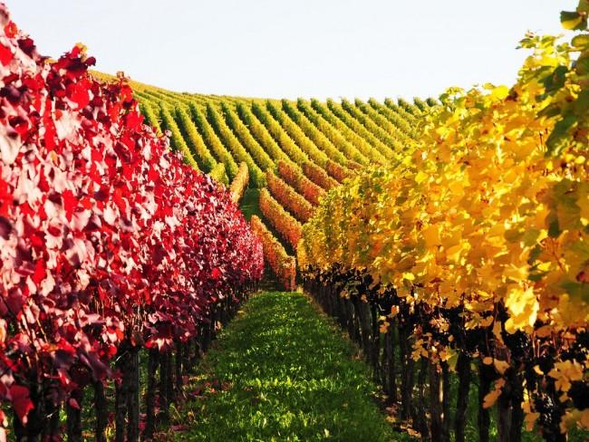 Шпалера для винограда - является опорой для всех частей и приростов кустов