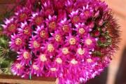 Фото 13 Виды домашних кактусов: тонкости правильного ухода и как заставить кактус цвести?