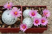 Фото 14 Виды домашних кактусов: тонкости правильного ухода и как заставить кактус цвести?