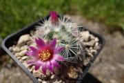 Фото 4 Виды домашних кактусов: тонкости правильного ухода и как заставить кактус цвести?