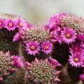 Виды домашних кактусов: фото и названия фото