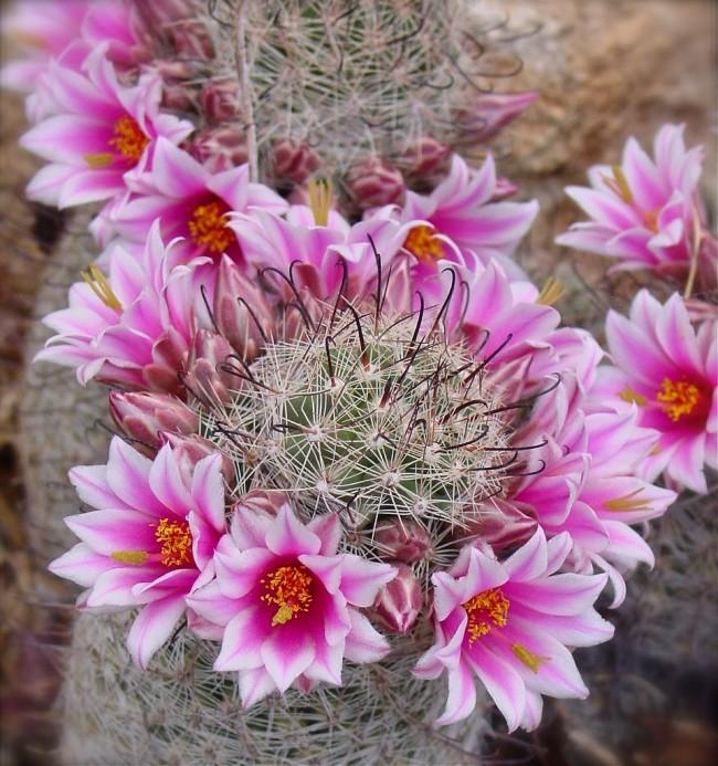 Виды домашних кактусов: посадка, уход и как заставить цвести?