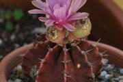 Фото 16 Виды домашних кактусов: тонкости правильного ухода и как заставить кактус цвести?