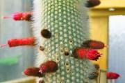 Фото 11 Виды домашних кактусов: тонкости правильного ухода и как заставить кактус цвести?