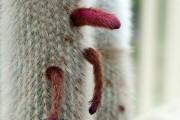 Фото 12 Виды домашних кактусов: тонкости правильного ухода и как заставить кактус цвести?
