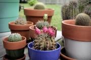 Фото 17 Виды домашних кактусов: тонкости правильного ухода и как заставить кактус цвести?