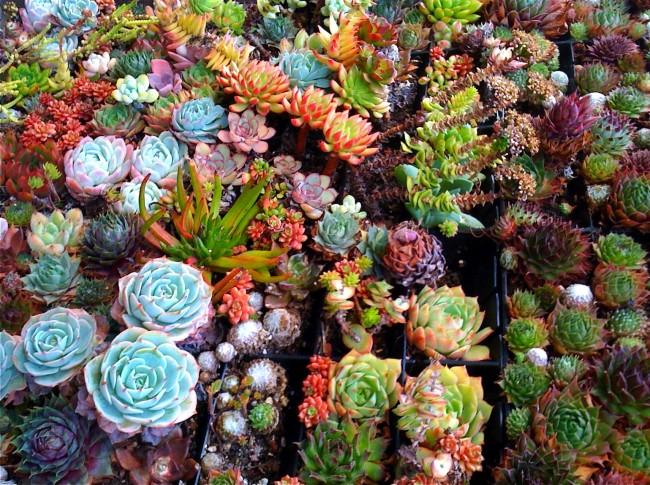 Суккуленты. Растения, которые входят в группу «суккуленты» - очень разные, так как связаны между собой не общим происхождением, а схожими условиями обитания