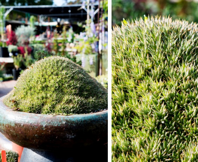 Суккуленты. Аброметелла находится в родстве с ананасом. Она образует плотную округлую подушку из розеток мелких зеленых листочков