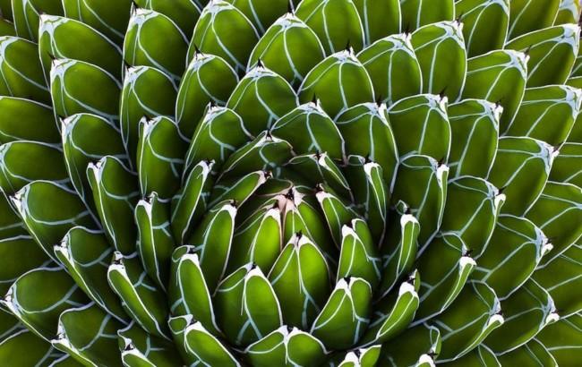 Суккуленты. Мясистые треугольные листья Агавы королевы Виктории длиной до 15 см окаймлены белым и образуют правильную розетку