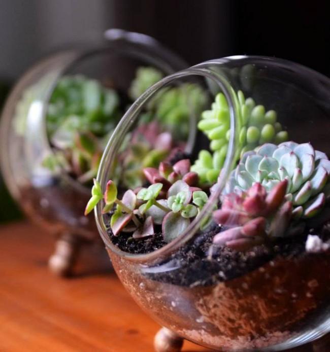 Суккуленты. Суккуленты часто содержат во флорариумах, их прозрачное дно позволяет открыто демонстрировать слои почвы и песка