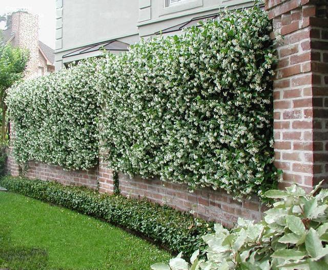 Кирпичный забор, украшенный кустами жасмина