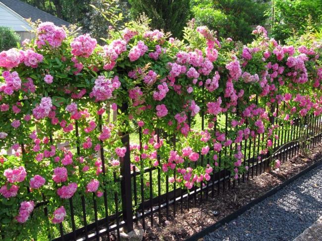 Изящный кованый забор, увитый цветами, выглядит очень красиво и изысканно