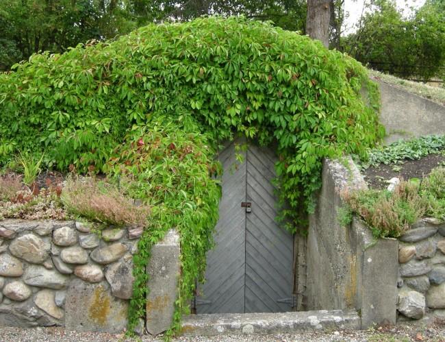 Погреб на даче, украшенный вьющимися растениями