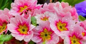 Примула многолетняя, посадка и уход (60 фото): как вырастить цветы небесной красоты фото