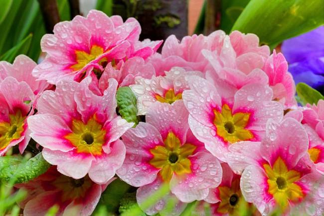 Прекрасная розовая примула