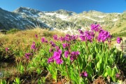 Фото 11 Примула многолетняя, посадка и уход (60 фото): как вырастить цветы небесной красоты