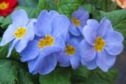 Фото 2 Примула многолетняя, посадка и уход (60 фото): как вырастить цветы небесной красоты