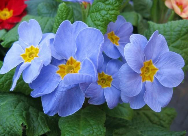 Большинство видов примулы цветет ранней весной