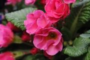 Фото 1 Примула многолетняя, посадка и уход (60 фото): как вырастить цветы небесной красоты