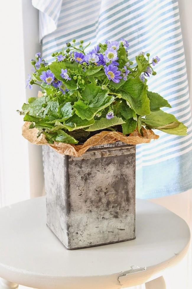 Примулу часто выращивают в домашних условиях