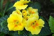 Фото 7 Примула многолетняя, посадка и уход (60 фото): как вырастить цветы небесной красоты