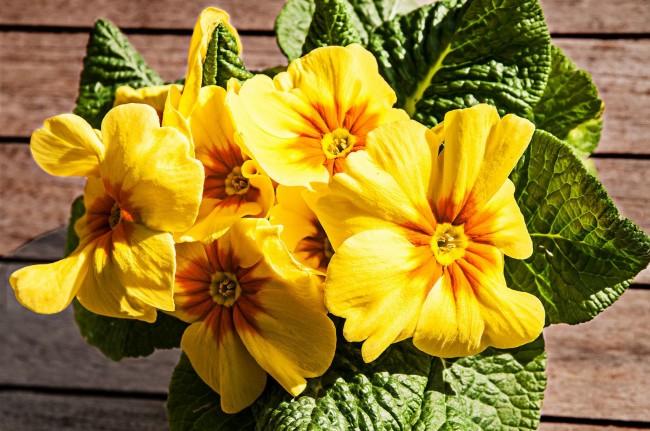 Красивая ярко-желтая примула