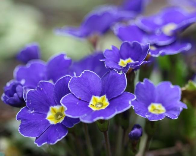 Красивая фиолетовая примула