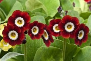Фото 13 Примула многолетняя, посадка и уход (60 фото): как вырастить цветы небесной красоты