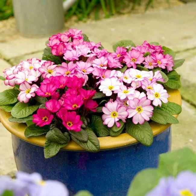 Многие садовые виды примулы обладают тонким и достаточно сильным пряным ароматом